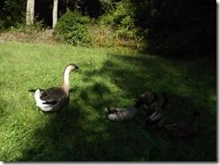 GooseFeathers 2013-09-24 008